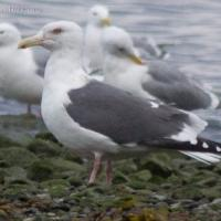 Slaty-backed Gull (Larus schistisagus)
