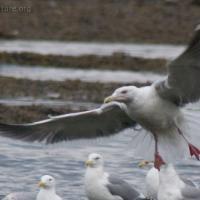 Slaty-backed Gull (Larus schistisagus)