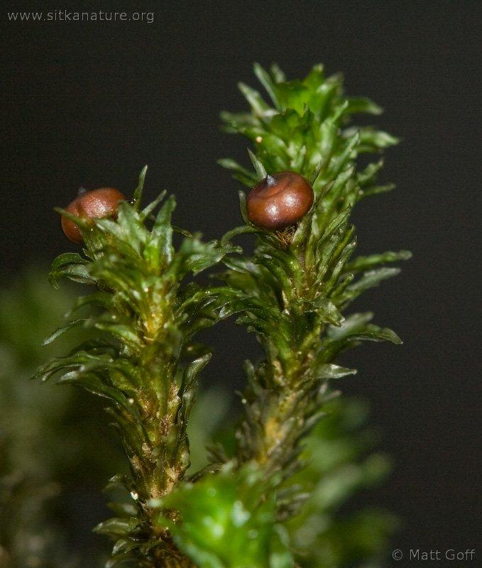 Blackmat Splashzone Moss (Scouleria aquatica)