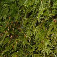 Brachythecium spp