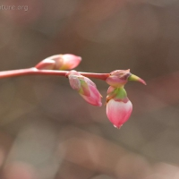 Early Blueberry Flower (Vaccinium ovalifolium)