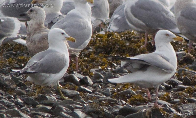 California Gull with Herring Gull