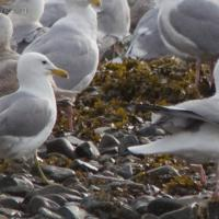 California Gull with Herring Gull