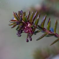Crowberry Flower (Empetrum nigrum)