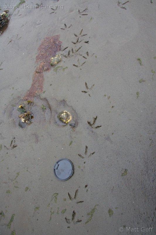 Marbled Godwit Tracks (Limosa fedoa)