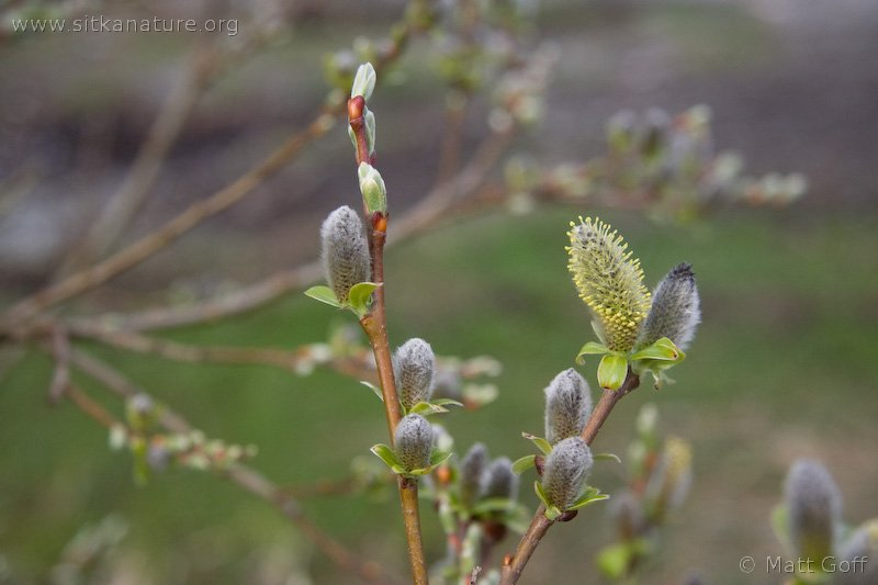 Sitka Willow (Salix sitchensis)