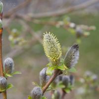 Sitka Willow (Salix sitchensis)