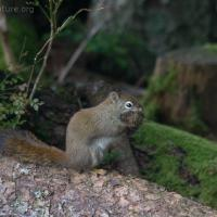 Red Squirrel (Tamiasciurus hudsonicus)