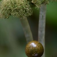 Ring Pellia Sporophytes (Pellia neesiana)