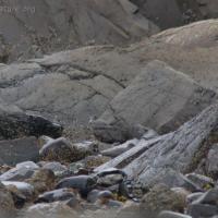 Wandering Tattler (Tringa incana)