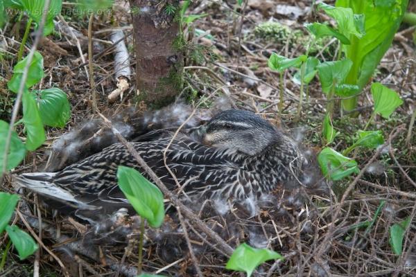 Mallard on Nest