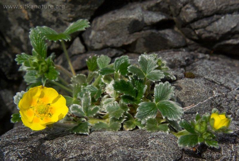 Villous cinquefoil (Potentilla villosa)