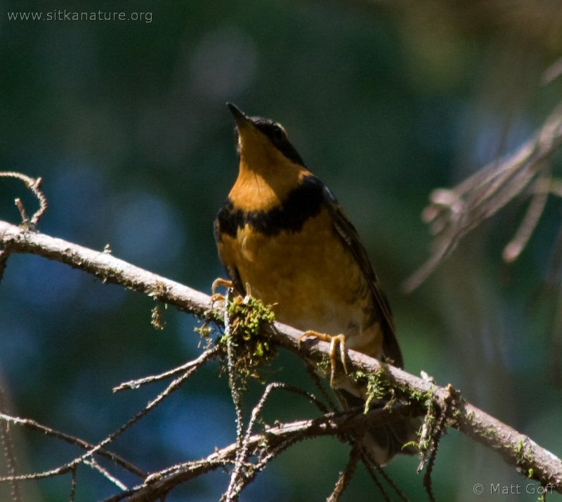 Varied Thrush (Ixoreus naevius)