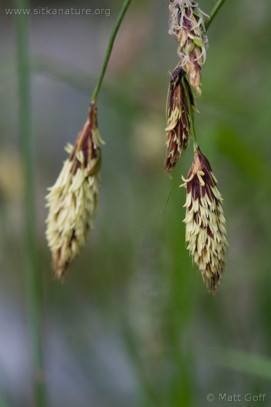 Long-awned Sedge (Carex macrochaeta)