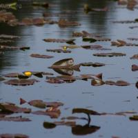 Yellow Pondlily (Nuphar polysepala)