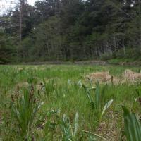 Alaska Plantain (Plantago macrocarpa)