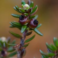 Developing Crowberries (Empetrum nigrum)