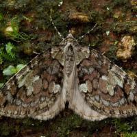 Moth (Hydriomena irata)