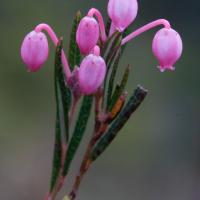 Bog Rosemary (Andromeda polifolia)