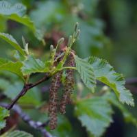 Sitka Alder (Alnus viridis)