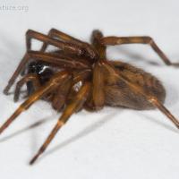 Hackledmesh Weaver (Callobius pictus)