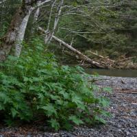 Stink Currant (Ribes bracteosum)