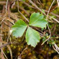 Three-leaf Goldthread (Coptis trifolia)