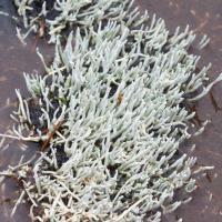 Whitefingers Lichen (Siphula ceratites)