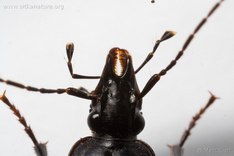 Ground Beetle (Scaphinotus marginatus)