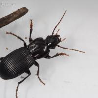 Ground Beetle (Pterostichus sp)
