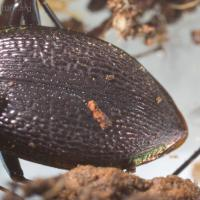 Ground Beetle (Scaphinotus marginatus)