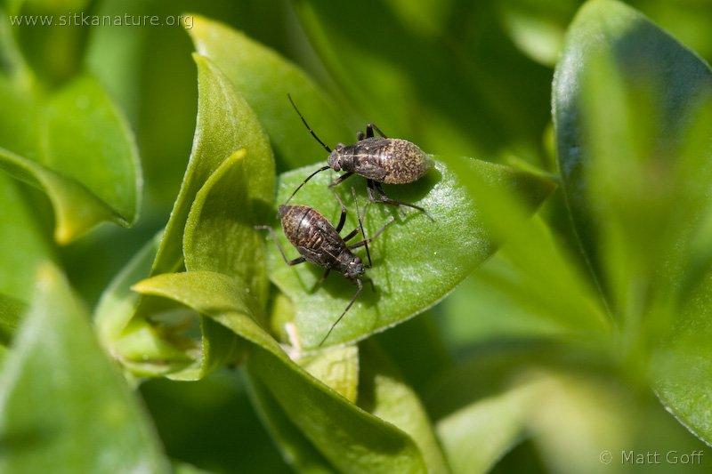 Plant Bug Nymphs (Miridae)