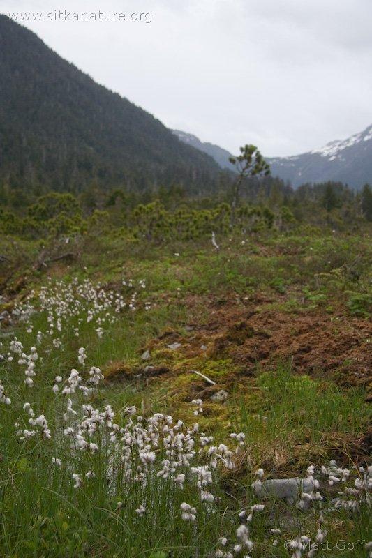 Tall Cotton Grass (Eriophorum angustifolium)