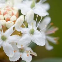 Labrador Tea (Ledum groenlandicum)