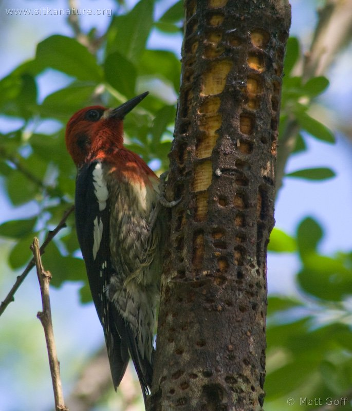 Red-breasted Sapsucker on Sitka Willow