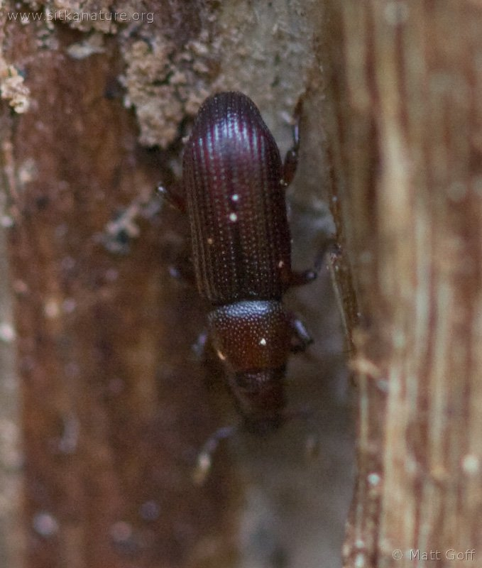 Bark Beetle (Rhyncolus sp)