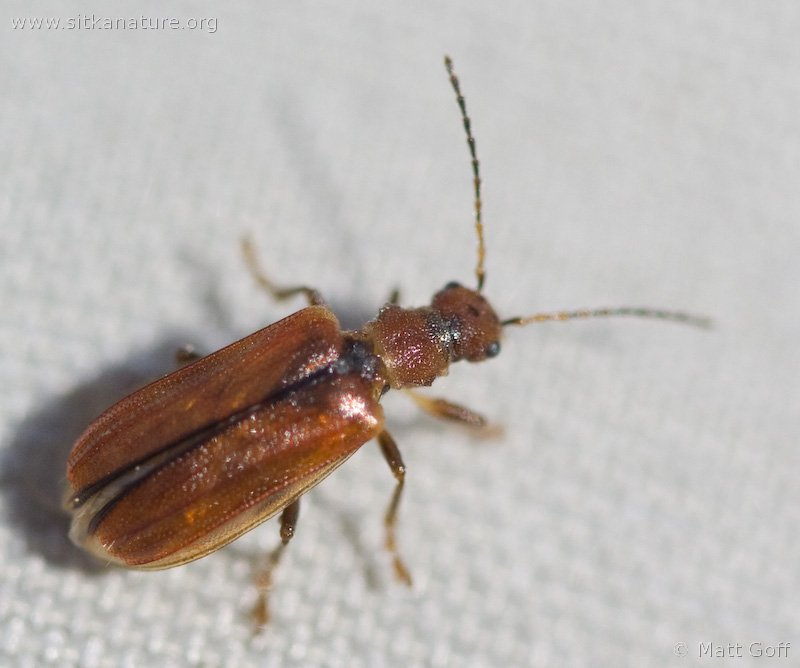 Leaf Beetle (Syneta sp)