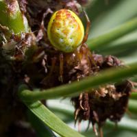 Sig-spotted Orbweaver (Araniella displicata)
