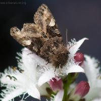 Unidentified Moth on Bog Buckbean