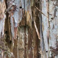 Bark Beetle Holes on Yellow Cedar