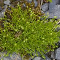 Birds Eye Pearlwort (Sagina procumbens)