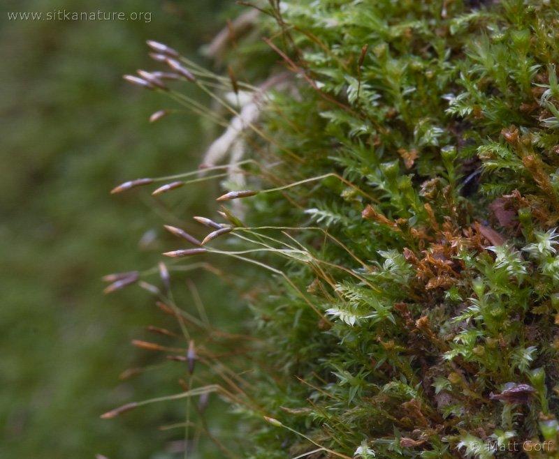 Tetraphis geniculata