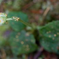 Spruce Cone Rust (Chrysomyxa monesis)