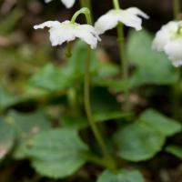 Single Delight (Moneses uniflora)
