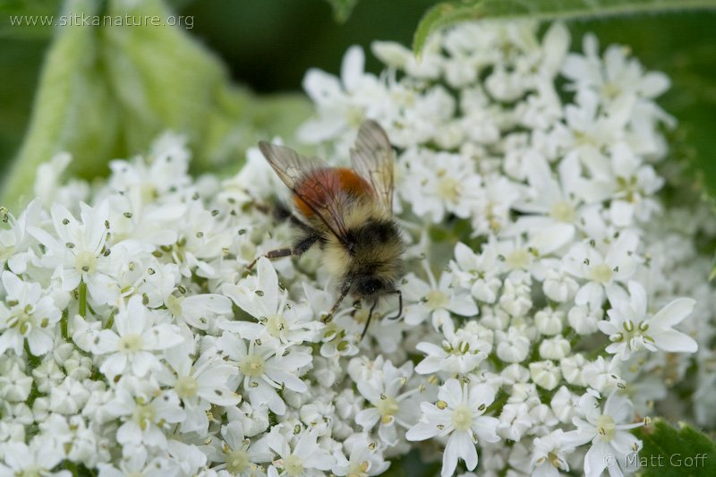 Bee on Cow Parsnip