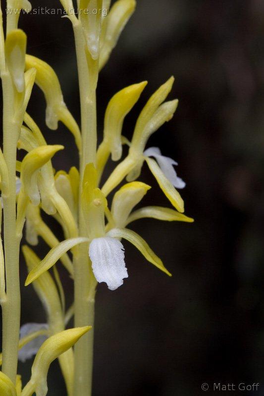 Yellow Mertens' Coral-root (Corallorhiza mertensiana)