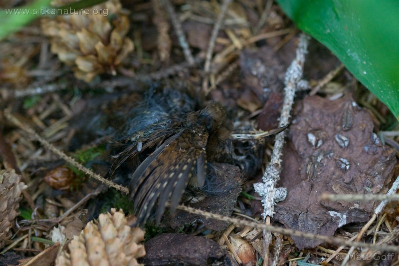 Winter Wren Remains (Troglodytes troglodytes)