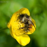 Bee on Buttercup