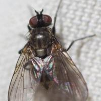 Forest Fly (Diptera)