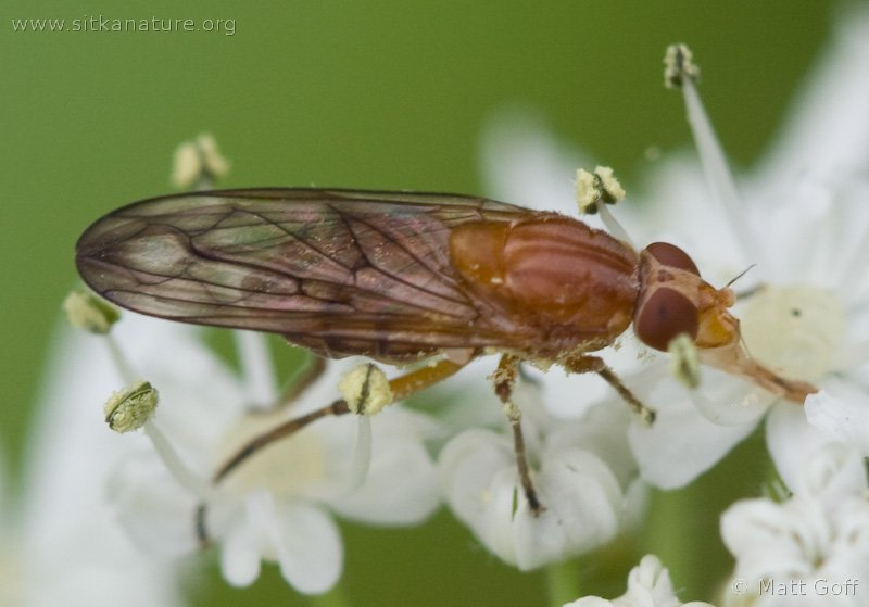 Syrphid Fly (Brachyopa sp)
